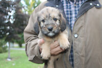 Wheaten x beagle pups for sale ONLY 1 female available