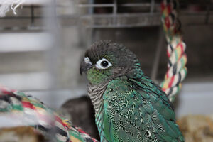 turquoise mutation green cheek conure baby