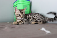 Registered/TICA Bengal Kitten READY TO GO