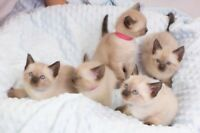 CHATONS SIAMESE PUR RACE/PURE BREED SIAMESE KITTENS