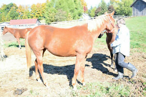 2 year old APHA Filly For Sale
