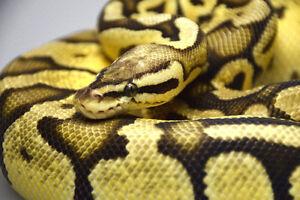 BALL PYTHON - 2013 Pastel Vanilla Female (1194g)