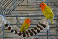 Beautiful Lutino Lovebirds with Cage