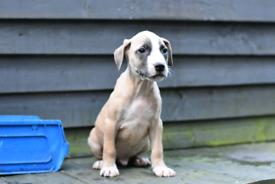 Staffordshire puppies