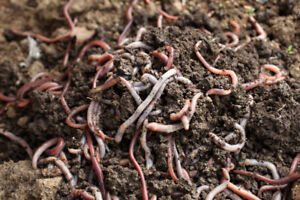 Red Wigglers for Vermicomposting (LOTS OF ORGANIC FERTILIZER)