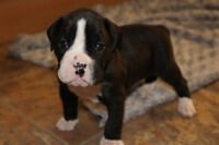 Purebred Flashy Brindle Boxer Puppies!!!