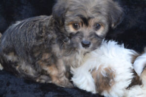 ***BEAUTIFUL HYBRID BABIES*** Chinese crested/chihuahua