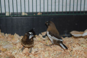 Baby Society Finches for Sale
