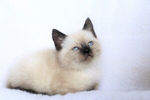 Ragdoll Siamese kittens for adoption