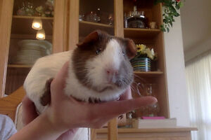 Three month old female Guinea Pig