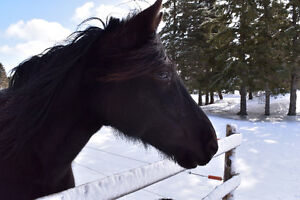Jument cheval canadien