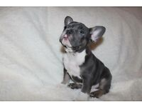 French bulldog blue and tan male