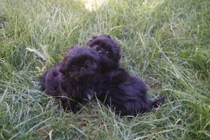 Shih Tzu Puppies ONly 2 left 1male 1 female