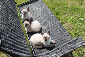 Super Cute Pointed Kittens