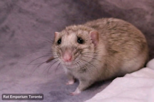 Pet Rat Owners Toronto + GTA - a place for rat lovers to connect