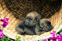 French Mastiff X English Mastiff Puppies for sale