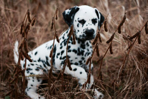 CKC  Registered Dalmatian Puppies: 3 females available