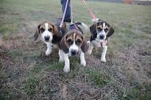 3 Male Beagle Puppies for sale $850 each Miners Rest Ballarat City Preview