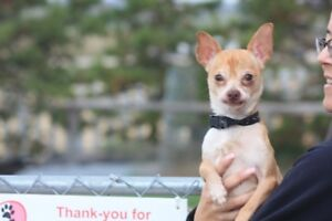 ADOPTABLE TINY CHIHUAHUA TYPES @ THE CARES K9 ORPHANAGE TODAY!