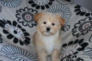 Havanese -  Adorable Male Puppies!