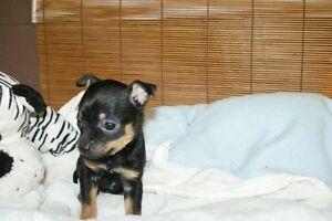 chihuahua ,tres petit et merle.