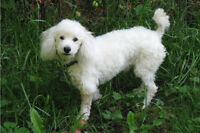 Looking for a small fluffy friend for our deaf poodle