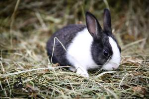 Dutch rabbits ready now