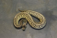 Updated PWR Ball Python Availability