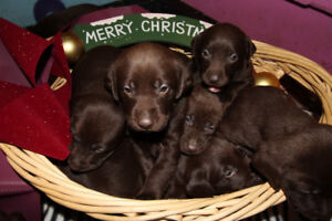 Chocolate Lab Puppies (Labrador Retriever)