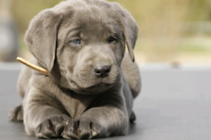 Silver and Charcoal Puppies