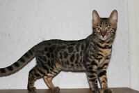 chatte bengal 4 mois 1/2