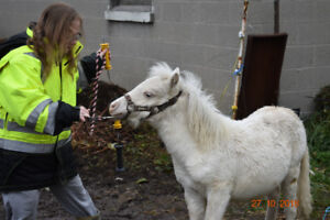 AMHR Registered solid WHITE filly