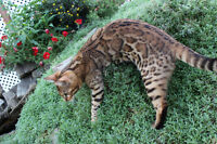 Stunning Bengal Spayed Retired Queen for sale