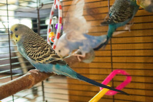 Four Budgies, Cage and Accessories