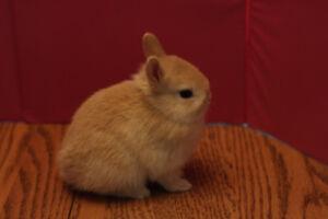 Purebred Netherland Dwarf Bunnies!!
