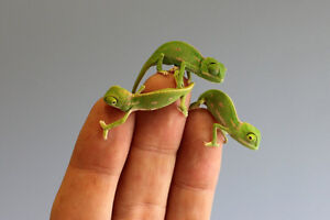 BEAUTIFUL BABY VEILED CHAMELEONS--$125.00