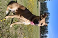 Beautiful 10 month old lab/boxer cross for sale