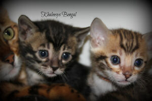 bengal charcoal brown and brown spotted tabby kittens