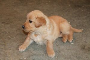 GOLDEN RETRIEVER PUPPIES - CHIOTS GOLDEN RETRIEVER