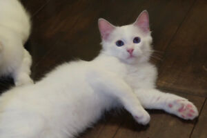 Only 2 males left!! super cute & adorable ragdoll kitten!!