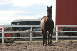 Mare for Lease