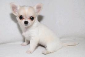KC reg Longcoat Chihuahua Girl Puppy