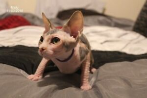 CHATONS SPHYNX MALES & FEMELLE DISPONIBLE!!!