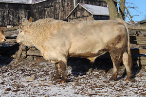 POLLED CHAROLAIS BULL Peterborough Peterborough Area image 2