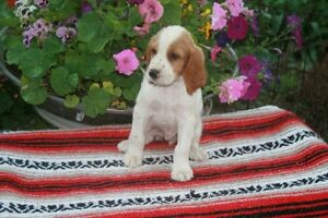 English Setter and Irish Red, White Mix Puppies For Sale