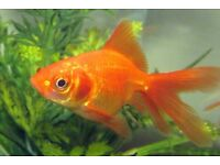 Beautiful gold fish to a loving home. Seliing as i am moving house and cant take her with me.