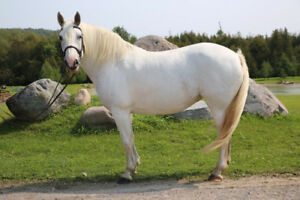 Draft cross mare for sale