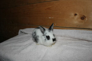 Tame Baby Bunny for sale