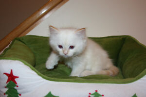 Ragdoll kittens Available