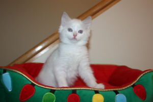 Ragdoll kittens Purebred Bicolor or Point